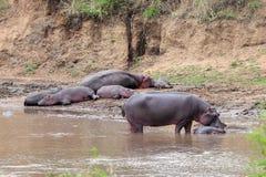 Hipopótamo Imagen de archivo libre de regalías