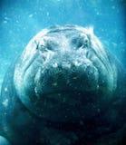 Hipopótamo Imagem de Stock Royalty Free