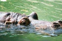 Hipopótamo Imagen de archivo
