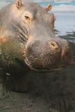 Hipopótamo Fotos de archivo libres de regalías