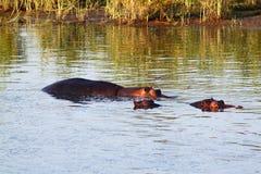 Hipopótamo Fotografía de archivo libre de regalías