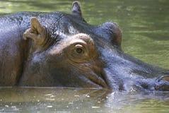 Hipopótamo Foto de archivo