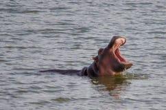 Hipopótamo Imágenes de archivo libres de regalías
