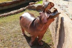 Hipopótamo aberto da boca que está perto da associação foto de stock royalty free