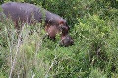 Hipopótamo africano Imagens de Stock