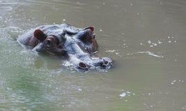 Hipopótamo, amphibius del hipopótamo, cabeza apenas por encima de la superficie, fotos de archivo