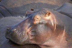 Hipopótamo (amphibius del hipopótamo) Foto de archivo libre de regalías