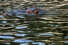 Hipopótamo (amphibius del hipopótamo) Imagen de archivo