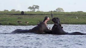 Hipopótamo, amphibius del hipopótamo, adultos con la boca abierta de par en par, exhibición de la amenaza, lucha, río de Chobe, d almacen de metraje de vídeo