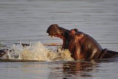 Hipopótamo (amphibius do hipopótamo) imagem de stock royalty free