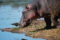 Hipopótamo (amphibius do Hippopotamus) fotografia de stock royalty free