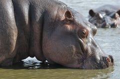 Hipopótamo bebendo Imagem de Stock Royalty Free