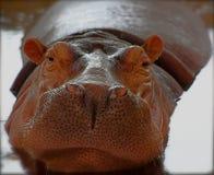 Hipopótamo bonito Fotografia de Stock Royalty Free