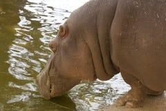 Hipopótamo celestial Fotos de Stock Royalty Free