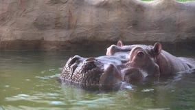hipopótamo común de 4K A tomar un baño en el agua del lago en el parque zoológico almacen de video