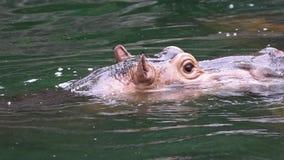Hipopótamo común de la cámara lenta que pega hacia fuera su cabeza del lago de agua dulce almacen de video
