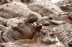 Hipopótamo com boca aberta Serengeti NP, Tanzânia Imagens de Stock Royalty Free