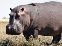 Hipopótamo com do pássaro parte traseira sobre Imagem de Stock