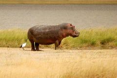 Hipopótamo com Egret Foto de Stock Royalty Free
