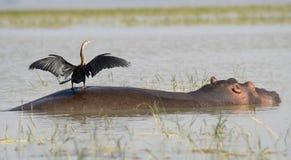 Hipopótamo com pássaro 2 Imagens de Stock Royalty Free