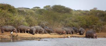 Hipopótamo, crocodilos e cegonhas imagens de stock