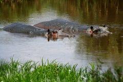 Hipopótamo cuidadoso Fotos de archivo