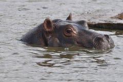 Hipopótamo cuidadoso Foto de archivo libre de regalías