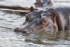 Hipopótamo cuidadoso Fotografía de archivo