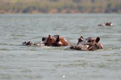 Hipopótamo da árvore Foto de Stock Royalty Free