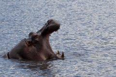 Hipopótamo de bocejo fotografia de stock royalty free