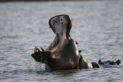 Hipopótamo de bocejo Foto de Stock Royalty Free