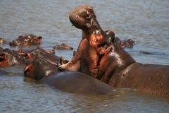 Hipopótamo de bostezo Imágenes de archivo libres de regalías