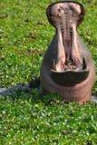 Hipopótamo de bostezo Fotos de archivo