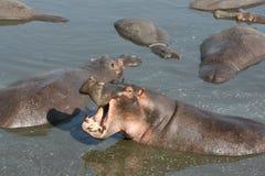 Hipopótamo de bostezo Foto de archivo libre de regalías
