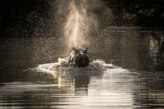 Hipopótamo de carregamento Fotografia de Stock