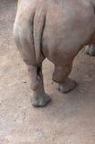 Hipopótamo de la grupa. Imagen de archivo libre de regalías