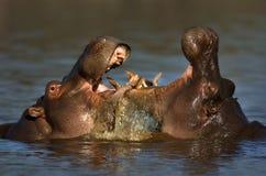 Hipopótamo de la lucha Imágenes de archivo libres de regalías
