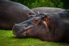 Hipopótamo de mentira Foto de archivo libre de regalías