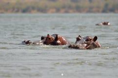 Hipopótamo del árbol Foto de archivo libre de regalías