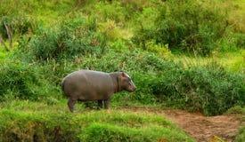 Hipopótamo del bebé Fotos de archivo libres de regalías