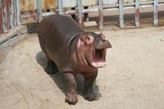Hipopótamo del bebé Fotografía de archivo