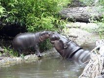 Hipopótamo del bebé con la madre Imagenes de archivo