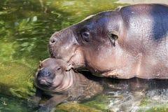 Hipopótamo del bebé con la momia Fotos de archivo libres de regalías