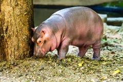 Hipopótamo del bebé en el chiangmai Tailandia del parque zoológico del chiangmai Imágenes de archivo libres de regalías