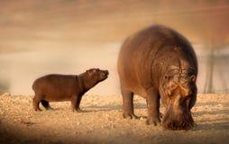 Hipopótamo do bebê com mãe Fotografia de Stock