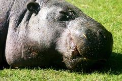 Hipopótamo do pigmeu imagem de stock royalty free