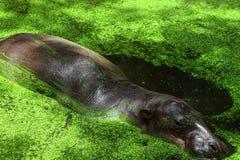 Hipopótamo do pigmeu no jardim zoológico Foto de Stock