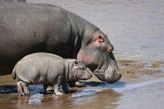 Hipopótamo e bebê na água Fotografia de Stock Royalty Free