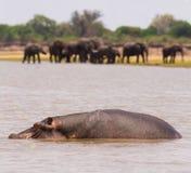 Hipopótamo e elefantes Imagens de Stock