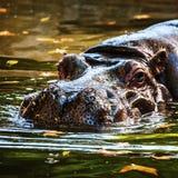 Hipopótamo em uma água Fotos de Stock Royalty Free